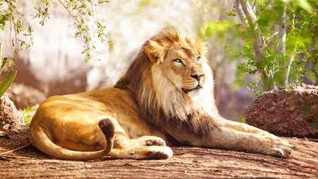 African lion 00712