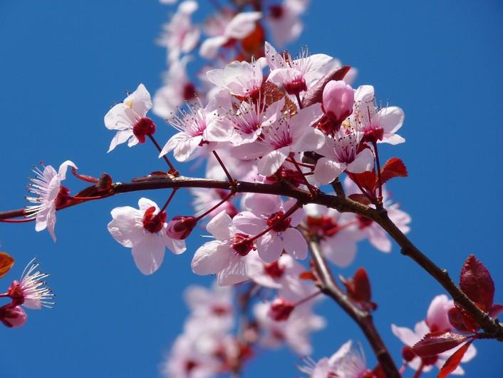 Almond blossom 00077