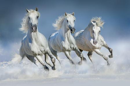 Arabian horse 00716