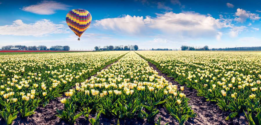 Balloon over white Tulip field. 00733