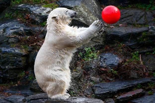 Белый медведь 01300