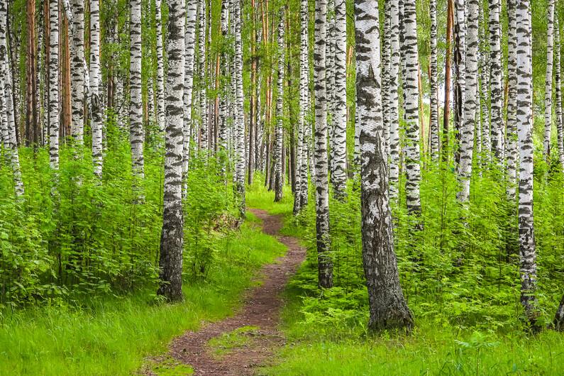 березовый лес 01384