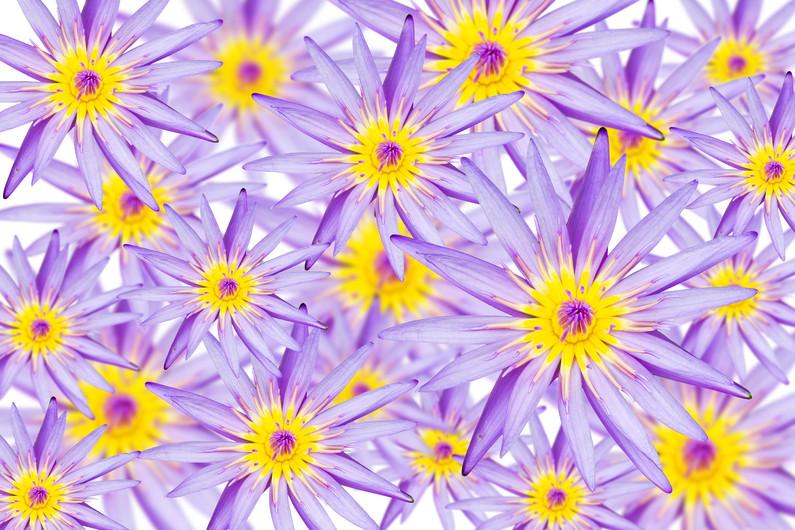 Blooming Lotus flower 00930
