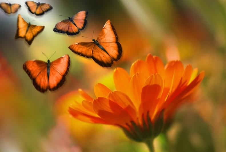 Butterfly orange 00129