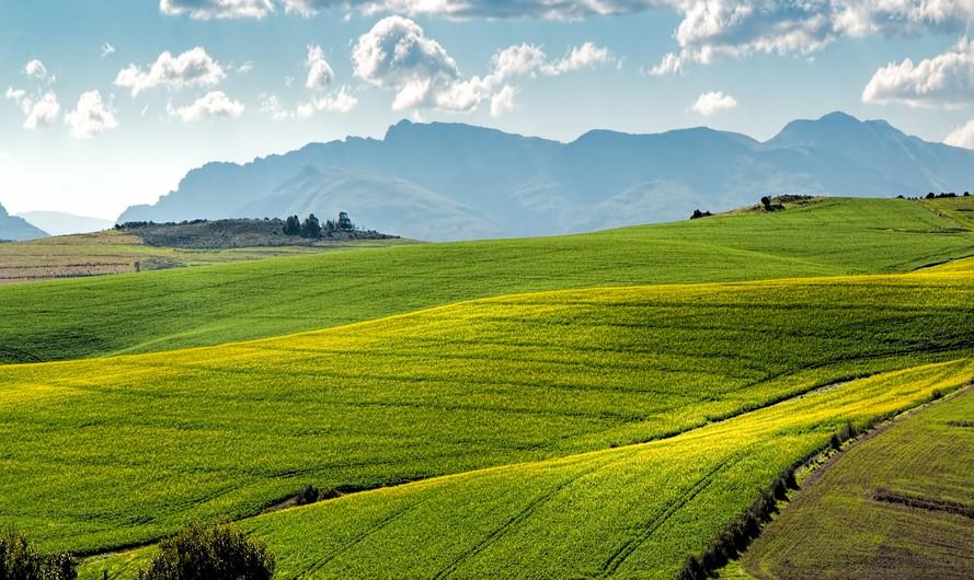 Canola fields 00131