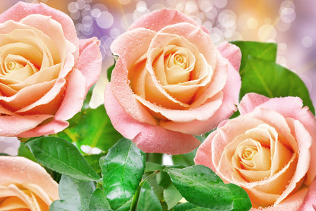 Close up of rose 00222