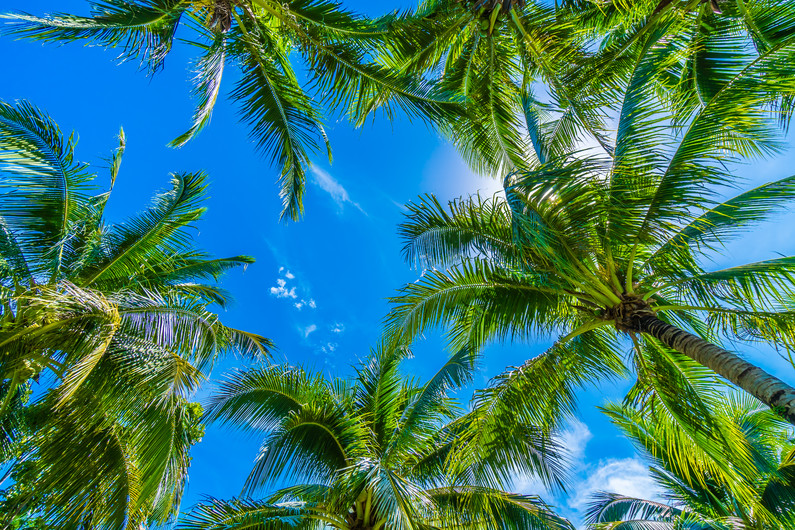 Coconut palm 00722