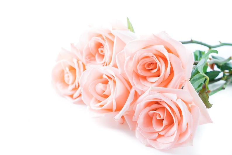 Coral rose 00224