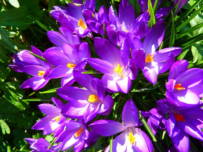 Crocus purple 00141
