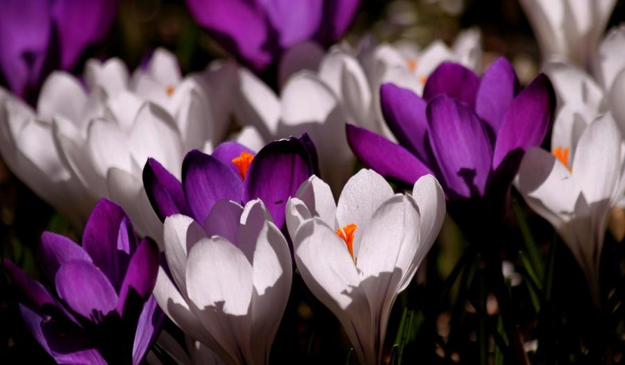 Crocus purple white 00143