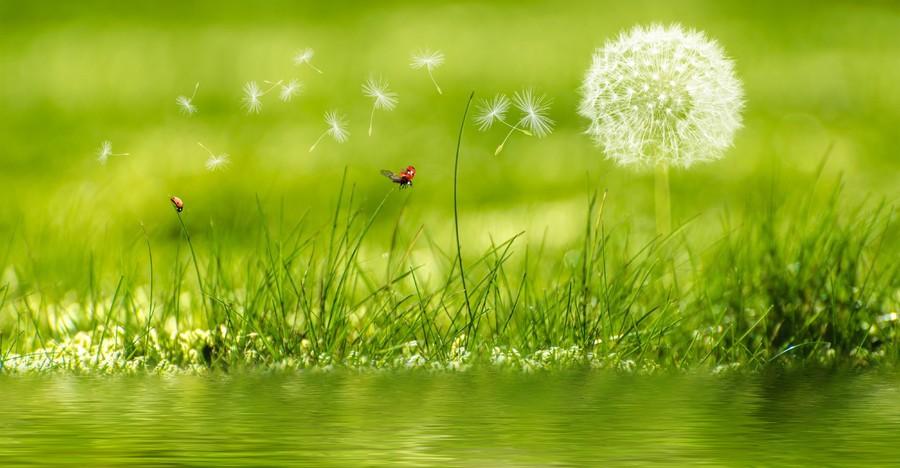Dandelion in the meadow 00567
