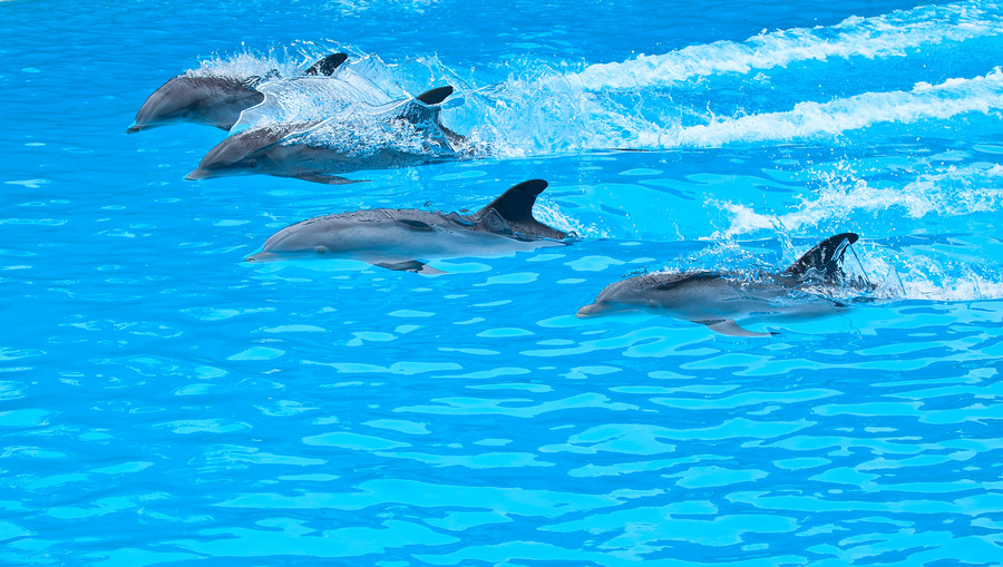 Five bottle nose dolphin in the pool 00791