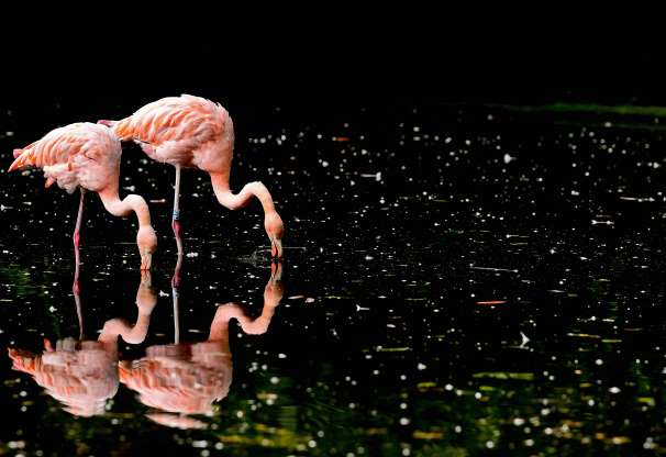 Фламинго 01271