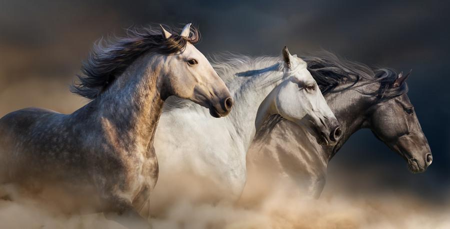 Horses with long mane 00718