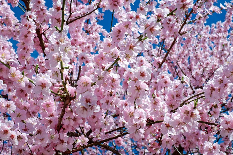 Japanese cherry trees 00536