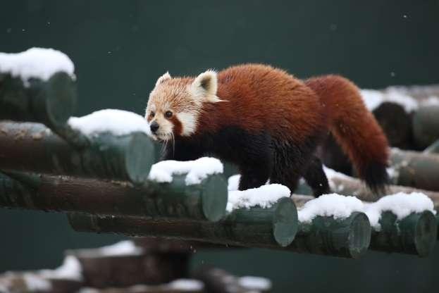 Красная панда 01298
