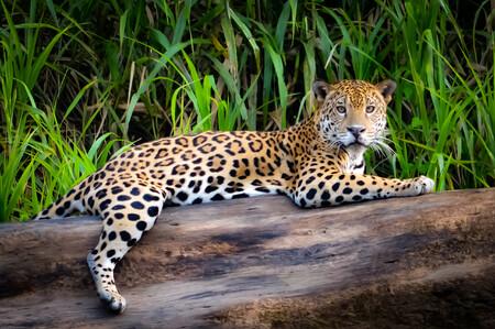 леопард 01451