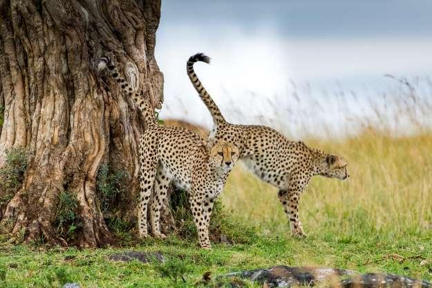 Леопарды 01302