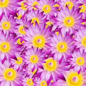 Lotus blossoms 00950