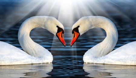 Loving swans 00926