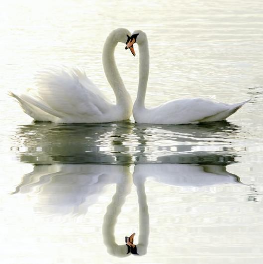 Loving Swans 00929