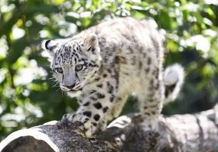 Мини леопард 01292