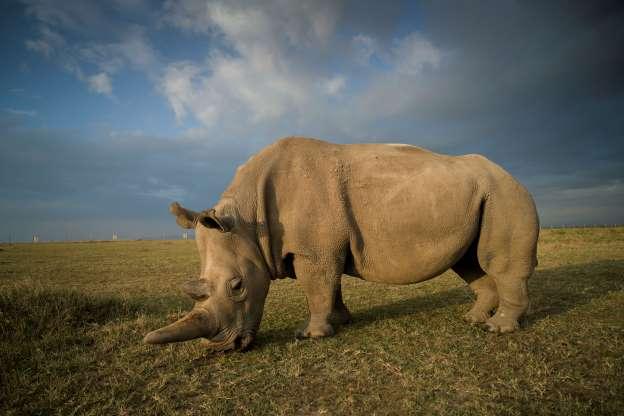 Носорог 01280