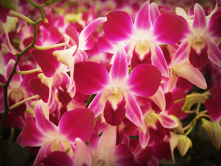 Orchid flower 00522