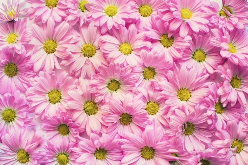 Pink daisies 00606