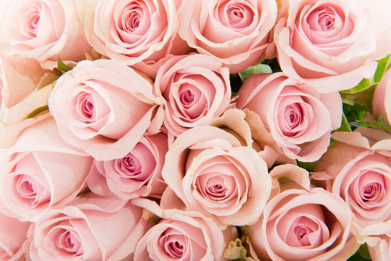 Pink roses 00213