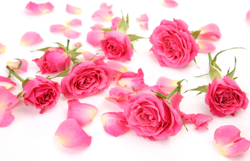 Pink roses 00223