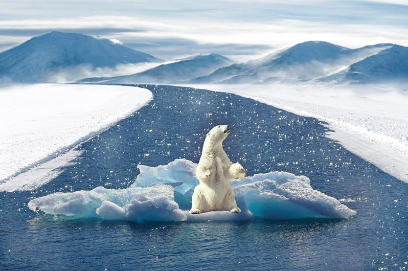 Polar bear 00609