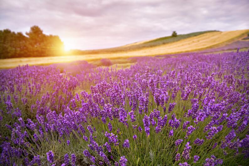 поле с цветами 01508