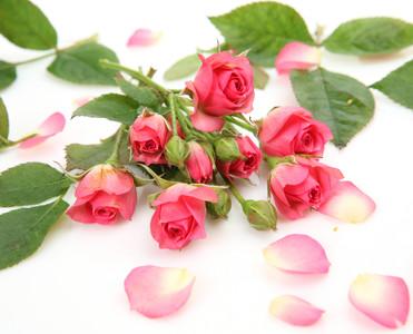 Rose petals 00216