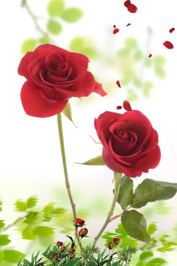 розы 01094