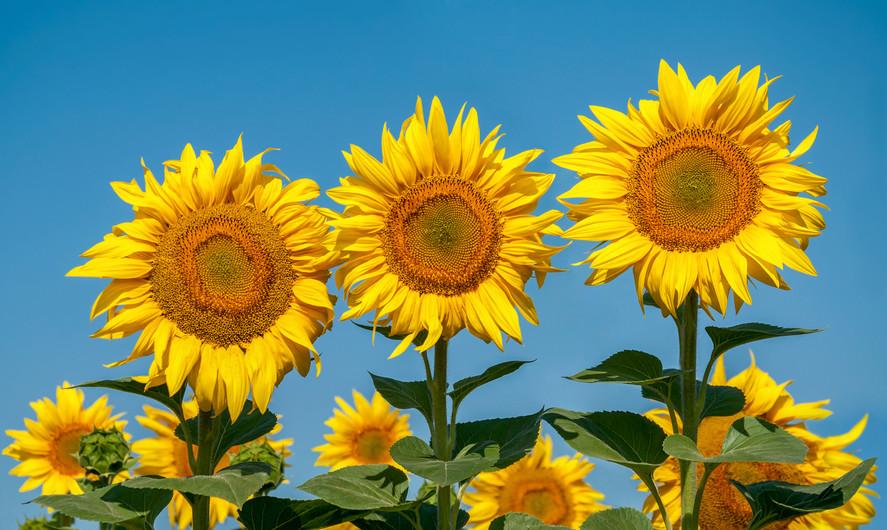 Sunflower 00429
