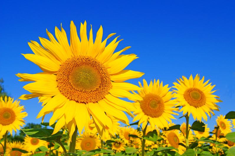 Sunflower in field 00937
