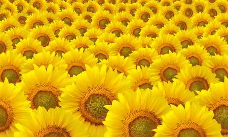 Sunflowers 00942