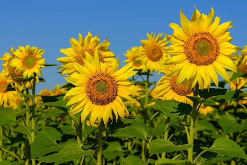 Sunflowers on blue sky 00484