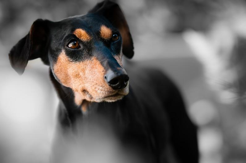 Terrier 00079