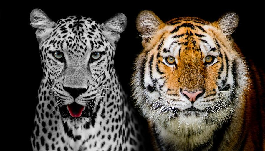тигр 01503