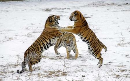 Тигры 01296
