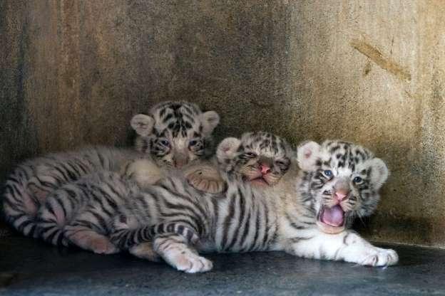 Тигрята 01276