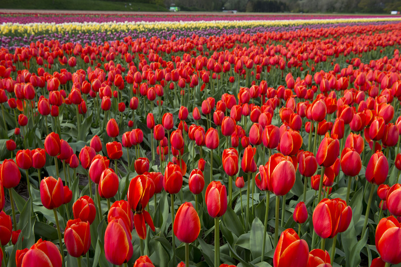 Tulip culture, Holland 00482