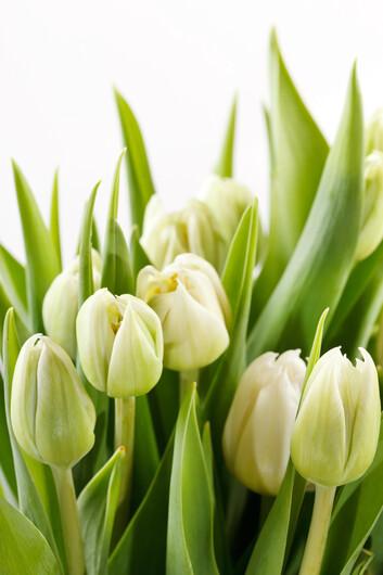 тюльпаны 01500