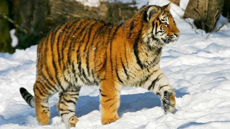 Уссурийский тигр 01283