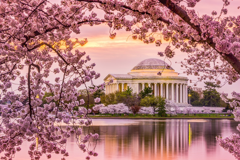 Washington cherry blossom 00967