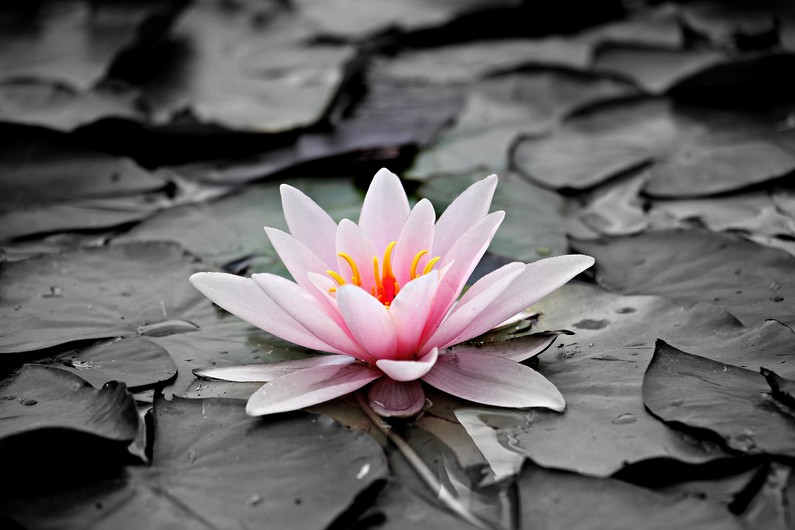 Water lily 00702