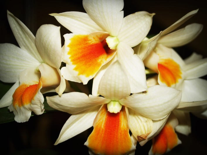 White orchid 00523