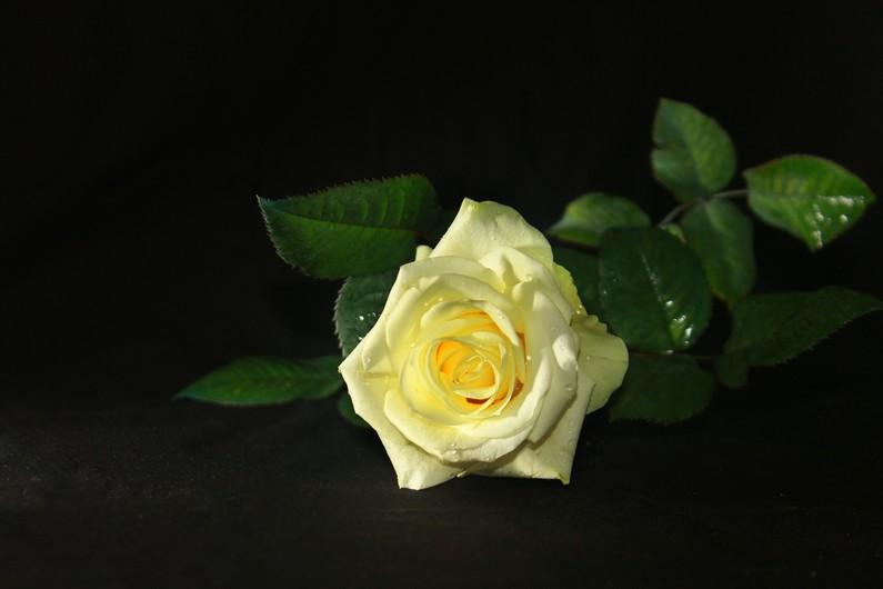 White rose 00634